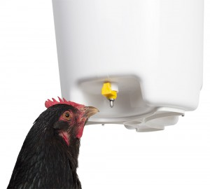 Bucket waterer with hen