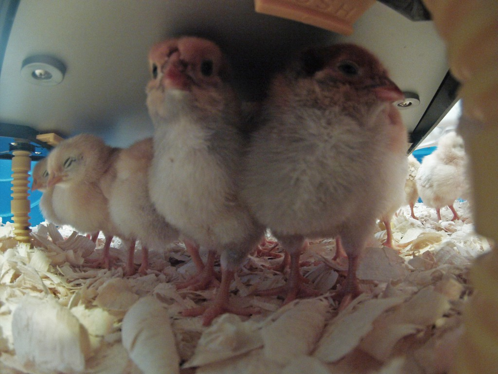 Chicks under Comfort Heating Plate for Chicks