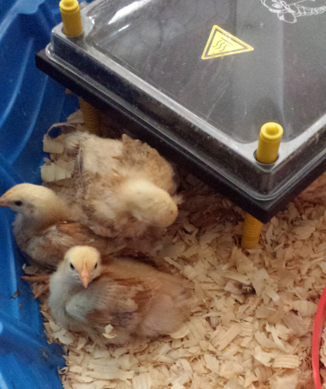 Chicks next to heating plate