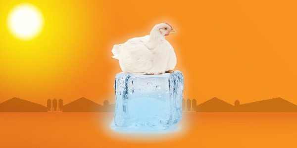 Most commercial broiler farms utilize an evaporative system to provide cooling during hot weather.  Although there is no substitute for regular maintenance and cleaning, choosing the right system can reduce repairs.  We compare several key features of Hog Slat's Evap System against competitive brands.
