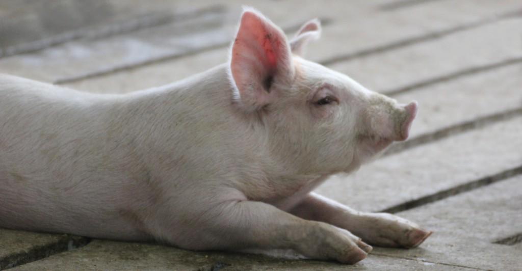 Pig-Slats-1540x800