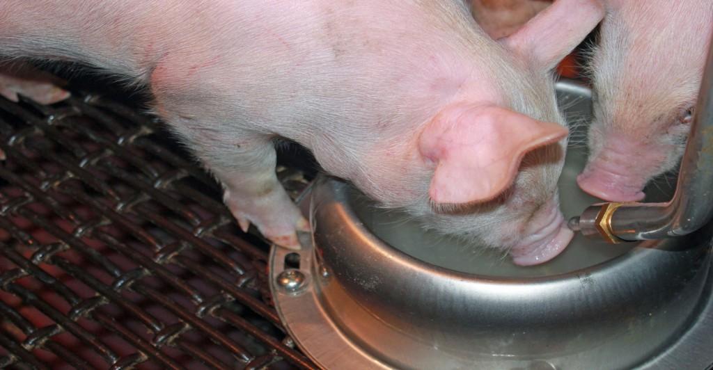 Aquabowl-pigs-drinking1540x800