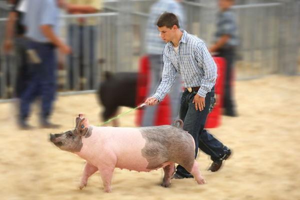 show-pigs_3-blur