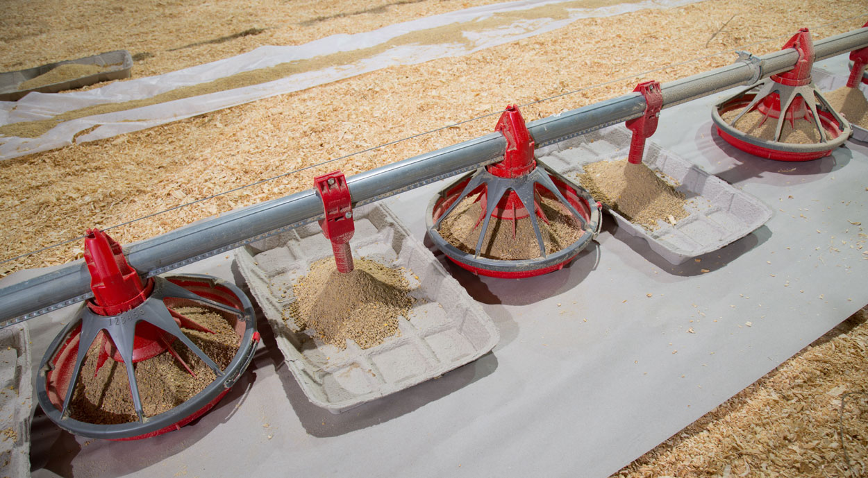 GrowerSELECT® Kwik-Start chick feeders, shown installed between Classic Flood feed pans on a broiler house feed line. Kwik-Start chick drops are a convenient and reliable way to keep feed trays filled at the beginning of a new flock.