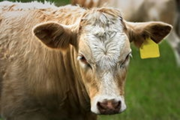 Picture for category Cattle Tags