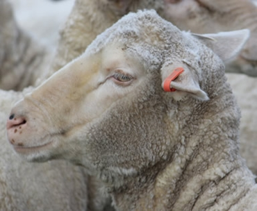 Picture for category Sheep & Goat Tags