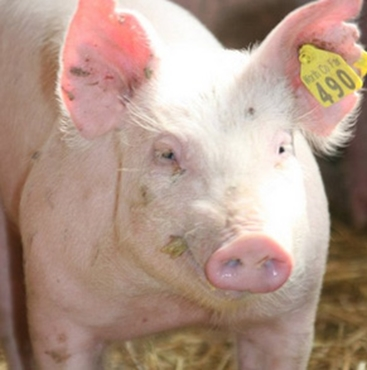 Picture for category Swine Tags