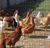Picture of CintoFlex 4' Mesh Poultry Netting